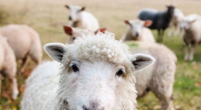 Два случая на ку-треска при овце във Видинско