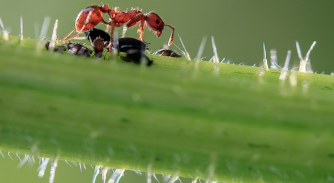 Дракуловите мравки са най-бързите животни на планетата