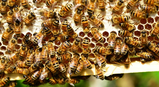 Учени създадоха ваксина срещу заболяване при пчелите