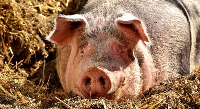 БАБХ: Не отглеждайте прасета в задните си дворове