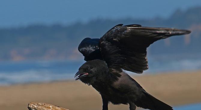 Враните могат да определят теглото на предмет по движението му на вятъра