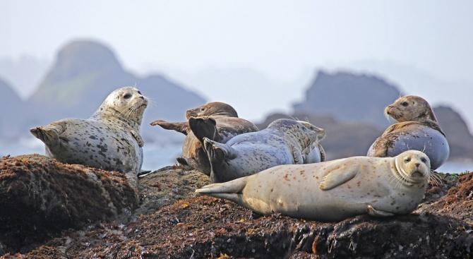 Градче беше нападнато от тюлени