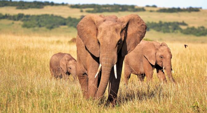 Африканските слонове се раждат без бивни, за да се спасят от бракониери