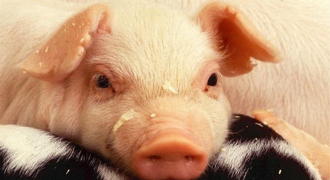 БАБХ информира за чумата по свинете и дребните преживни животни