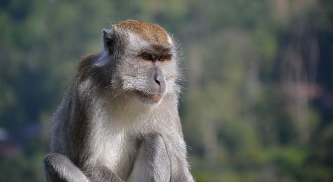 Китай клонира пет маймуни за изследване