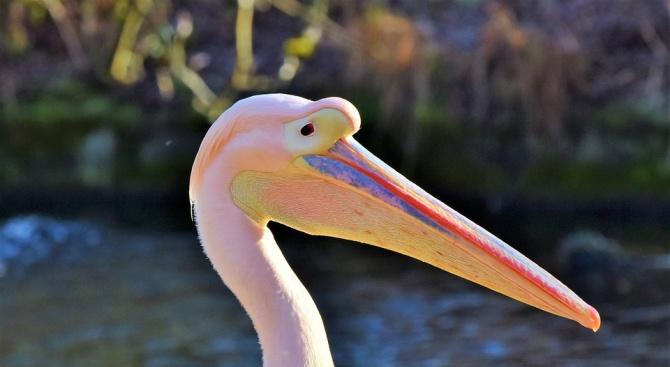 Простреляха розов пеликан