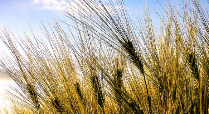 В Добричка област запасите от влага за пшеницата са много ниски, коментира учен