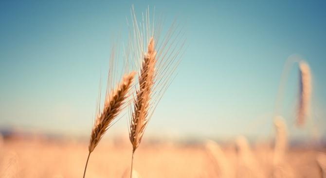 Площите, засети с пшеница и ечемик в Ямболска област, са по-малко от миналата година