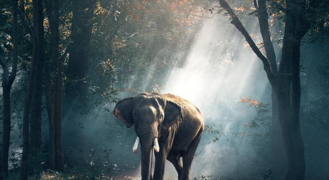 Седем слона помогнаха в залавянето на тигър-човекоядец