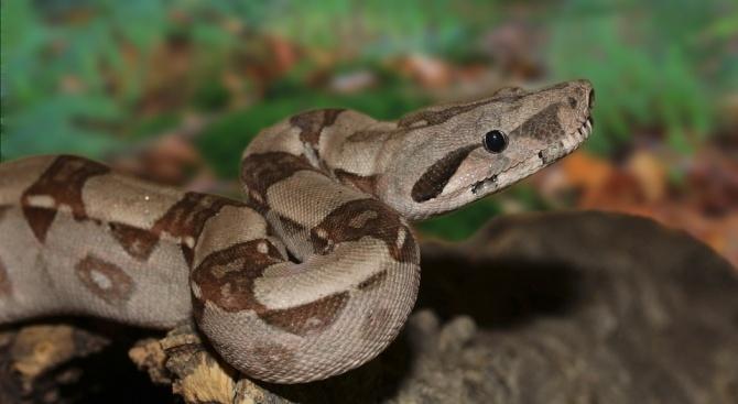 Кога змия от вида боа може да нападне човек?
