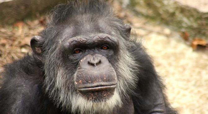 Шимпанзета си построиха стълба и избягаха от клетка в зоопарк