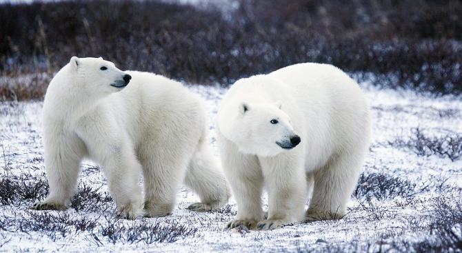 Извънредно положение на острови в Русия заради масово нашествие на бели мечки  (снимки)