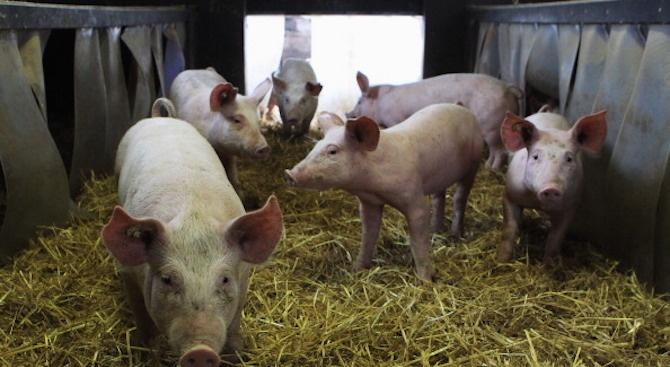 Забраняват продажбите и движението на прасета във Варненска област
