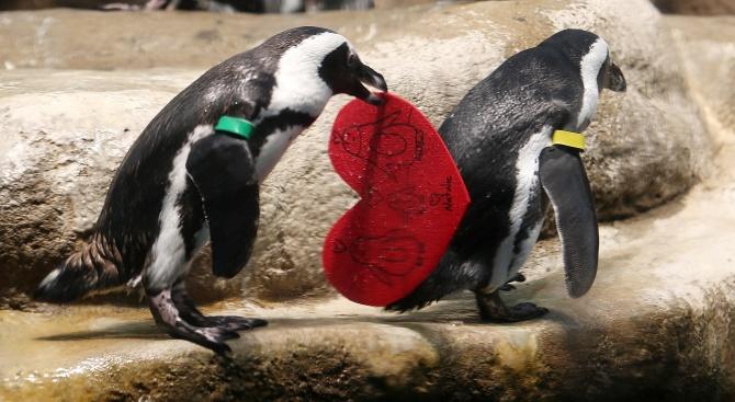 Пингвини празнуват Свети Валентин в Сан Франциско