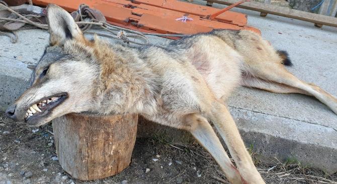 Застреляха вълчица, прескочила ограда на ферма с 6 000 волта ток