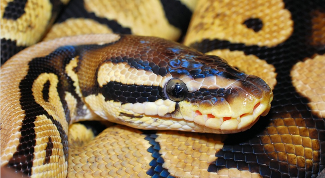 Змия пропътува през три континента, навит в обувка
