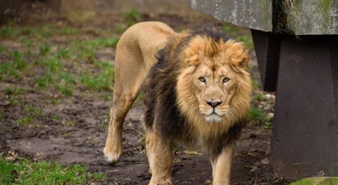 Лъв уби стопанина си в Чехия