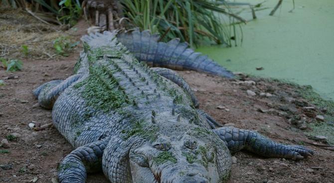 Австралийски град оплаква загубата на любимия си крокодил Бисмарк