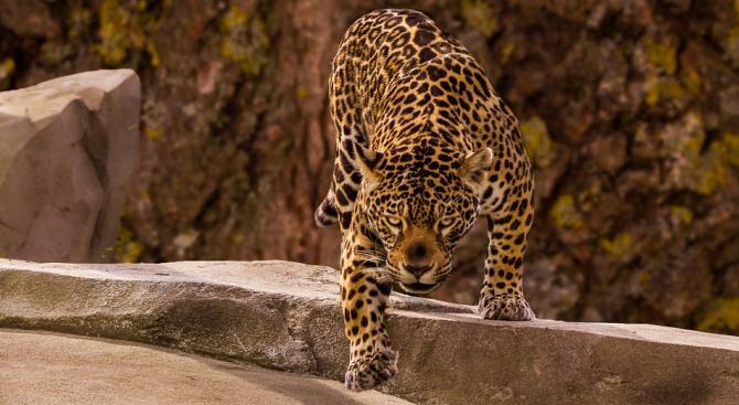 Ягуар нападна жена в зоопарк, прескочила ограда, за да си направи селфи с животното
