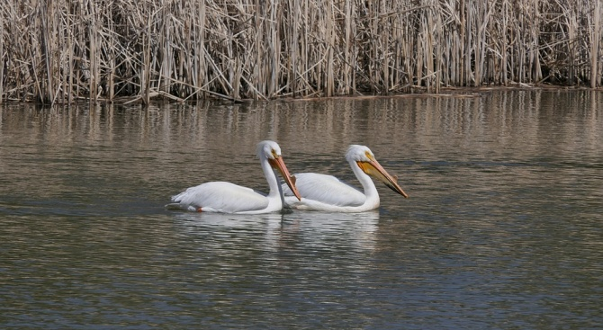 """Излюпиха се първите пеликани в """"Сребърна"""""""