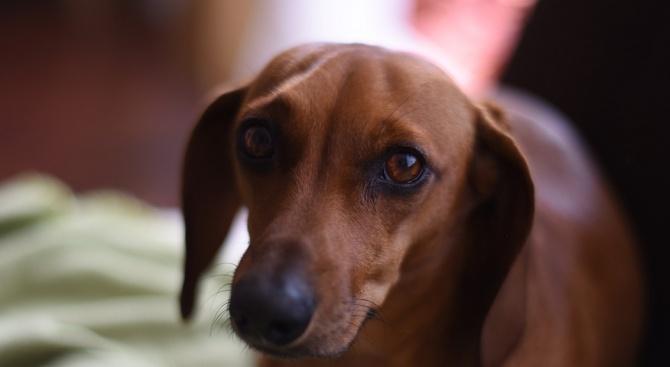 Дакелите са най-хапещата порода кучета в Русия
