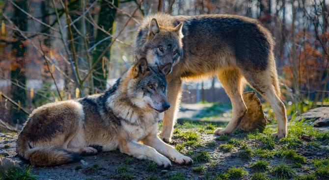 Вълчата природа помага на кучетата да си сътрудничат с хората