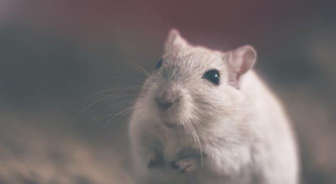 Учени излекуваха опитни мишки от алкохолизъм с помощта на лазер