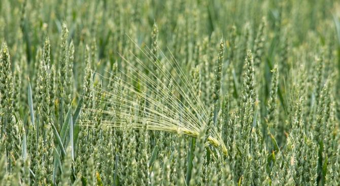 Засушаването в Добричка област засегна 48 на сто от масивите с пшеница