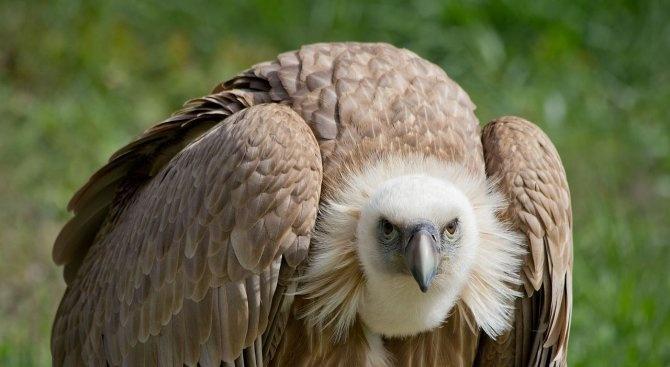 Египетски лешояд от виенския зоопарк се заселва в Източните Родопи