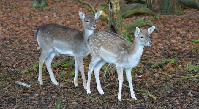 """Във Виенския зоопарк се родиха две сърнички """"Бамби"""""""