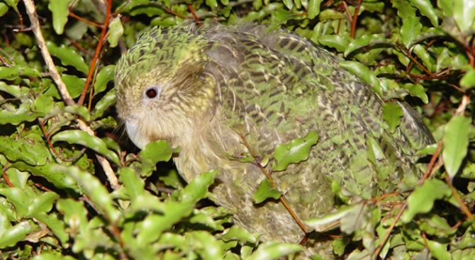 Рекорден брой папагалчета какапо са се излюпили в Нова Зеландия