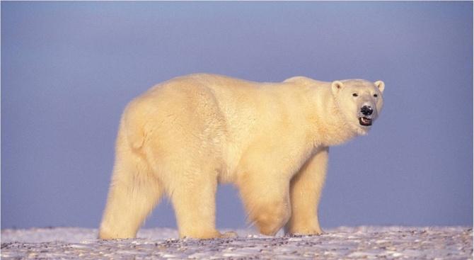 Полярна мечка се появи край руско село