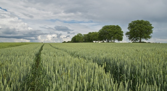 Няма пропаднали площи и нападения от гризачи в пшеницата и ечемика в Силистренско