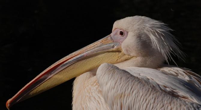 Розов пеликан беше разпнат на пътен знак навръх Разпети петък