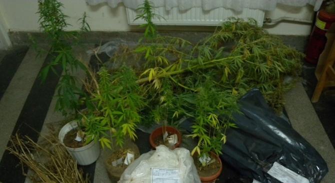 Спипаха бивш затворник да отглежда марихуана в дома си