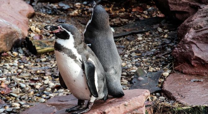 Повече от половината пингвини в ирландски аквариум вече са в еднополови двойки