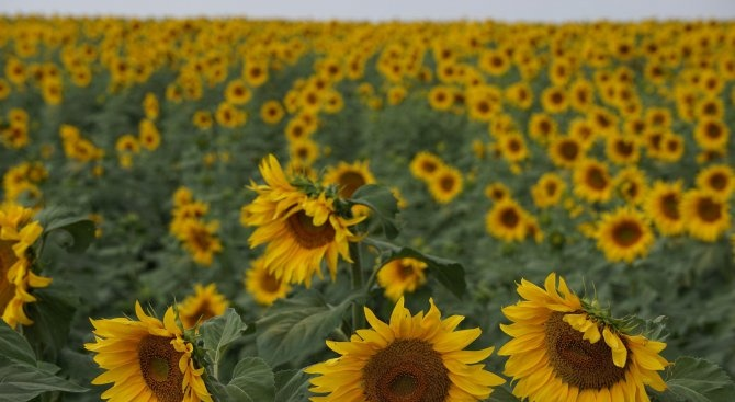 В Ямболска област са засети около 336 000 дка със слънчоглед