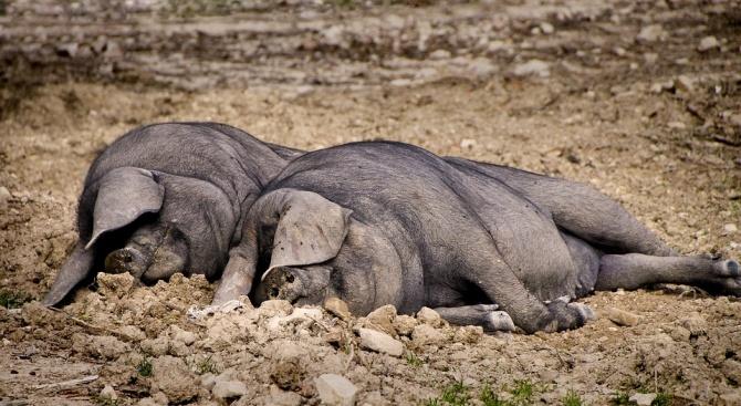 Две простреляни диви прасета са открити в Шуменско