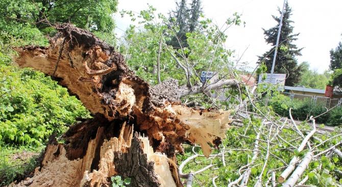 Дърво падна върху работник, той е с опасност за живота