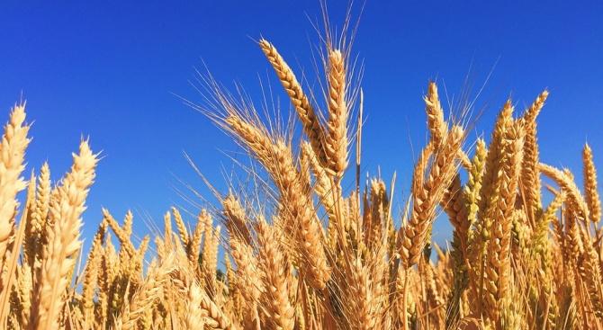 Състоянието на посевите със зърнени култури в Ямболска област е много добро