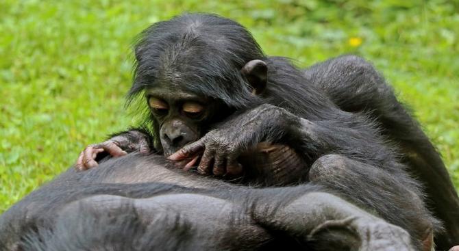 Шимпанзета бонобо са мамини синчета