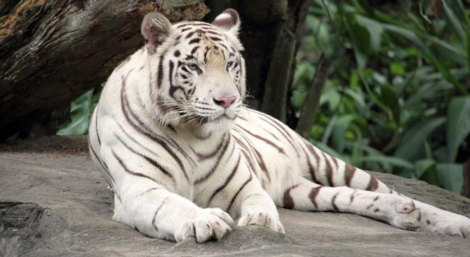Две малки бели тигърчета пристигнаха в Никарагуа