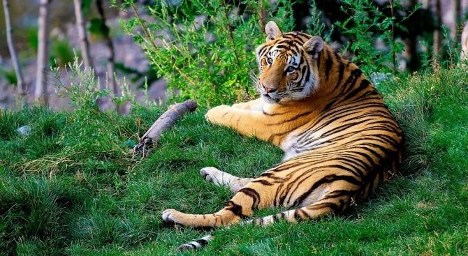 Учени разбраха защо тигрите са оранжеви