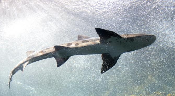 Брутална жестокост: Рибари отрязаха опашката на застрашена от изчезване акула
