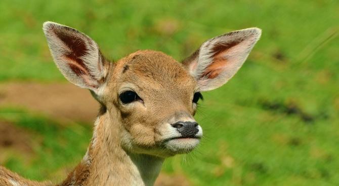 Ловни специалисти: Не прибирайте здрави новородени сърни и кошути