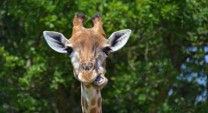 Жирафката Ейприл, която роди на живо в интернет, минава на противозачатъчни