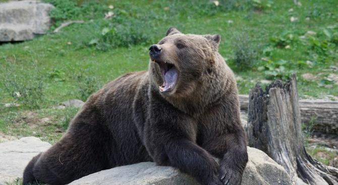 Руснак отхапа езика на мечка