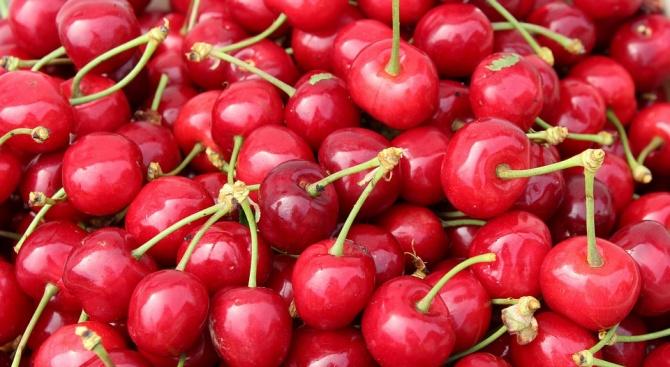 388 кг от декар е средният добив на череши в Сливенско