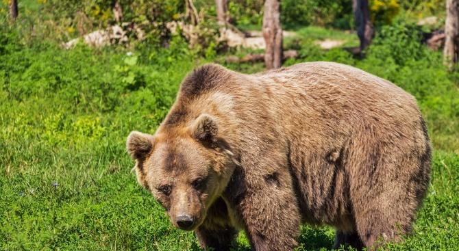 Бракониери убиха кафява мечка в Рила