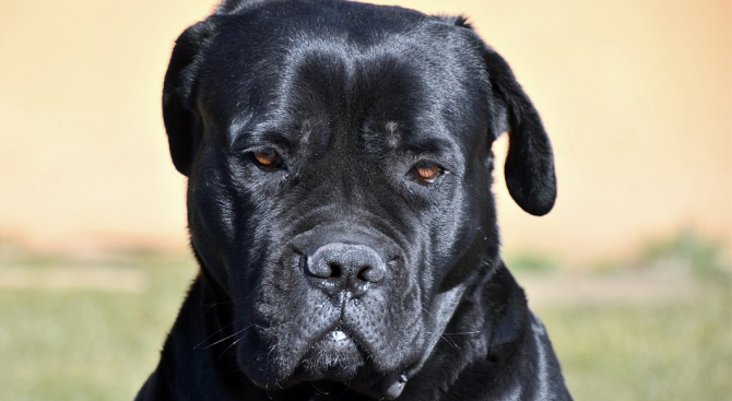 2 кучета Кане Корсо разкъсаха английски сетер